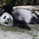 Пандата Фу Бао празнува първия си рожден ден