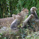 Гепарди-тризнаци играят на открито във виенския зоопарк