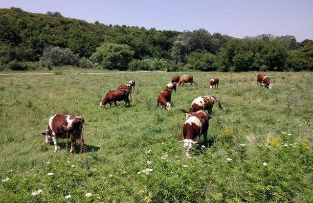 крави, селско стопанство Австрия