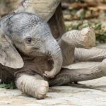 Бебе слонче е най-новият обитател на виенската зоологическа градина